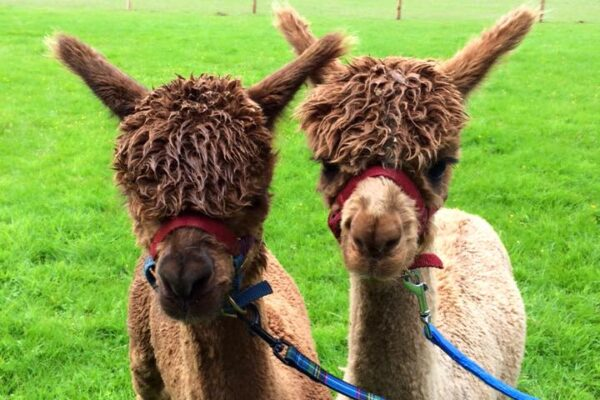 An image of two Alpacas at Dunreyth Alpacas