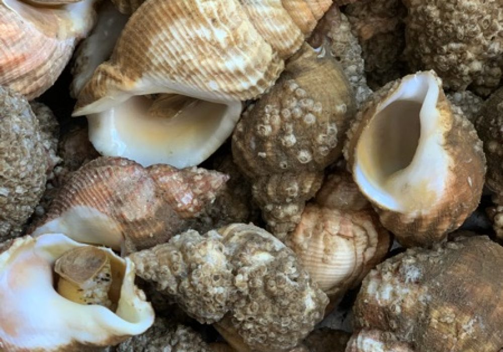 An image of whelks