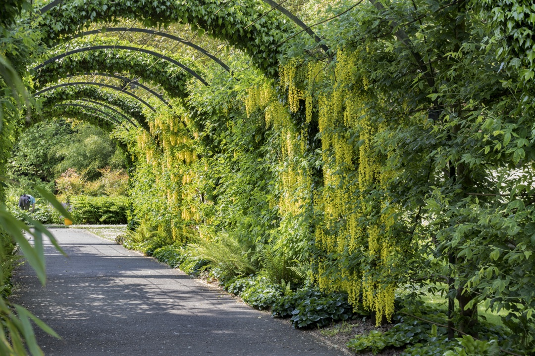 An image showing Laburnum growing over a helix arch at West Dean Gardens nr Chichester