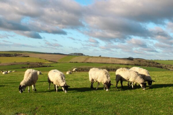 sheep in fields along the South Downs Way