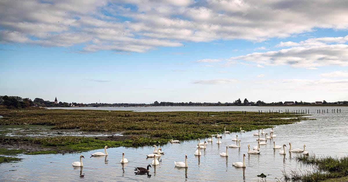 A photo showing swans on Chichester Harbour at Bosham