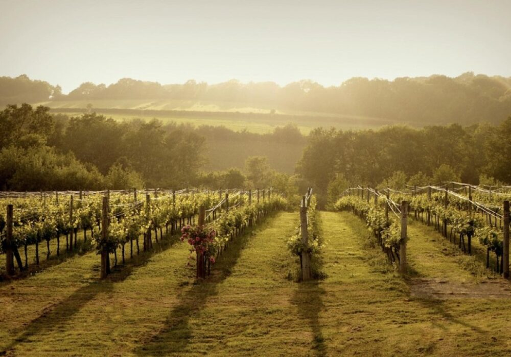 An image of a vineyard from a wine tour with Smooth Red Wine Tours
