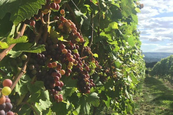 An image showing the vines at Upperton Vineyard, West Sussex