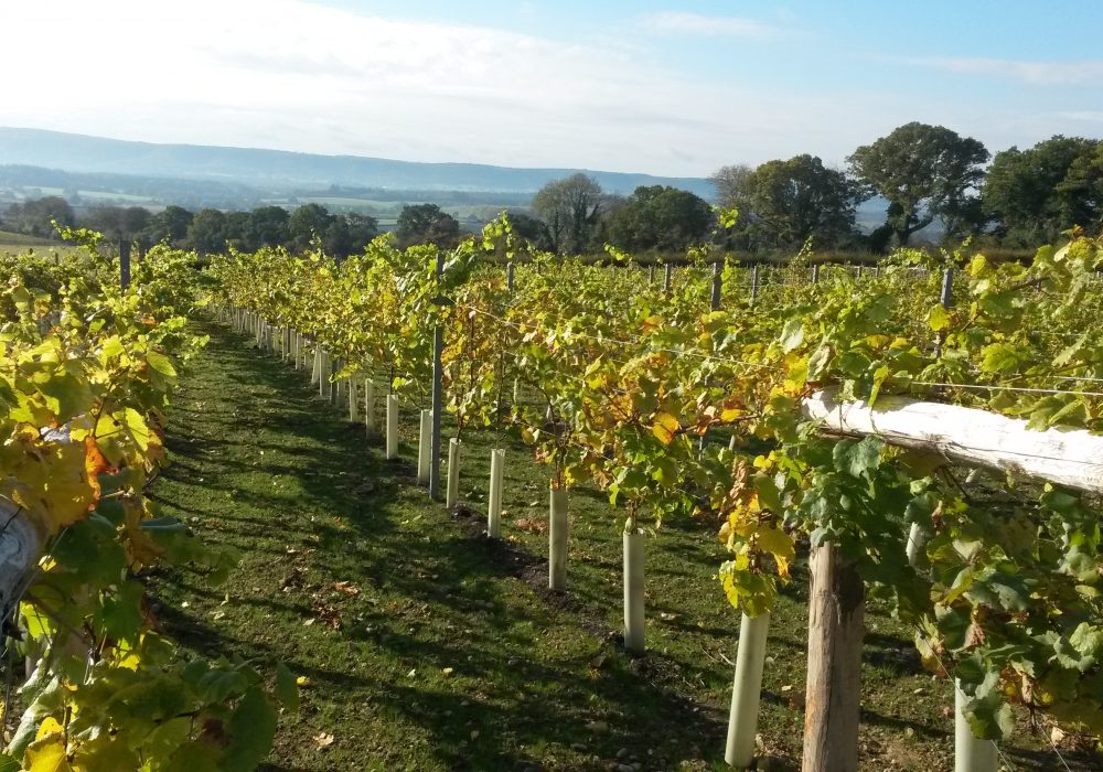 An image showing the vines growing at Upperton Vineyard, West Sussex